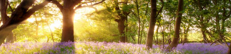 Bluebell woods with sun shining through trees